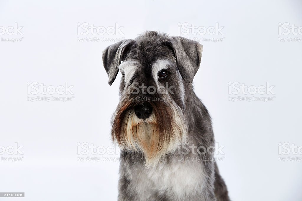 Portrait of a salt and pepper schnauzer with white background stock photo
