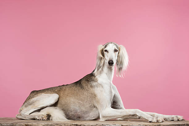 Portrait of a Saluki Arabian Hound Elegant portrait of a male, grey and white Saluki Arabian Hound relaxing on a weathered table top against a pink background. Saluki's are fleet footed hunting dogs that hunt by sight. They originate from the area that was known as Persia where they were bred for centuries for their hunting skills. With careful and patient training they can become loyal and affectionate pets. Horizontal format, colour with lots of copy space. sight hound stock pictures, royalty-free photos & images