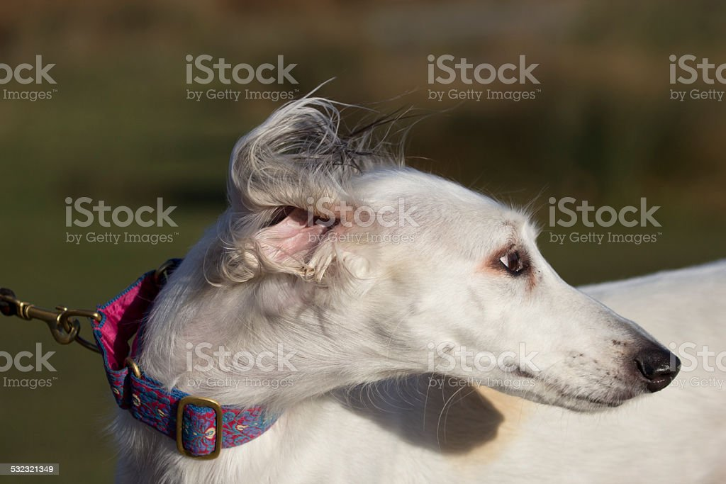 Portrait of a Saluki stock photo