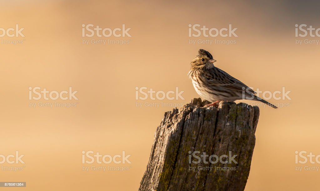 Portrait of a Savannah Sparrow stock photo
