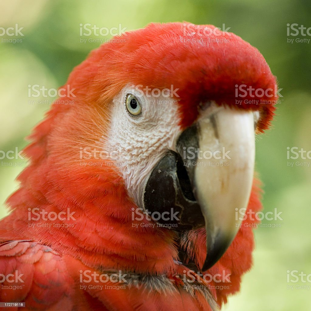 Portrait of a Scarlet Macaw royalty-free stock photo