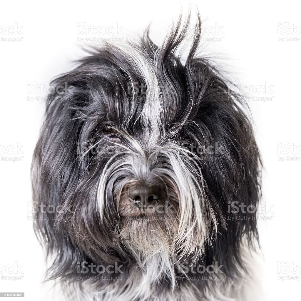 Portrait of a Schapendoes dog with bangs straight up stock photo