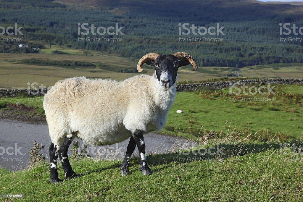 Portrait of a Scottish blackface sheep, Quirain, Isle of Skye, Scotland stock photo
