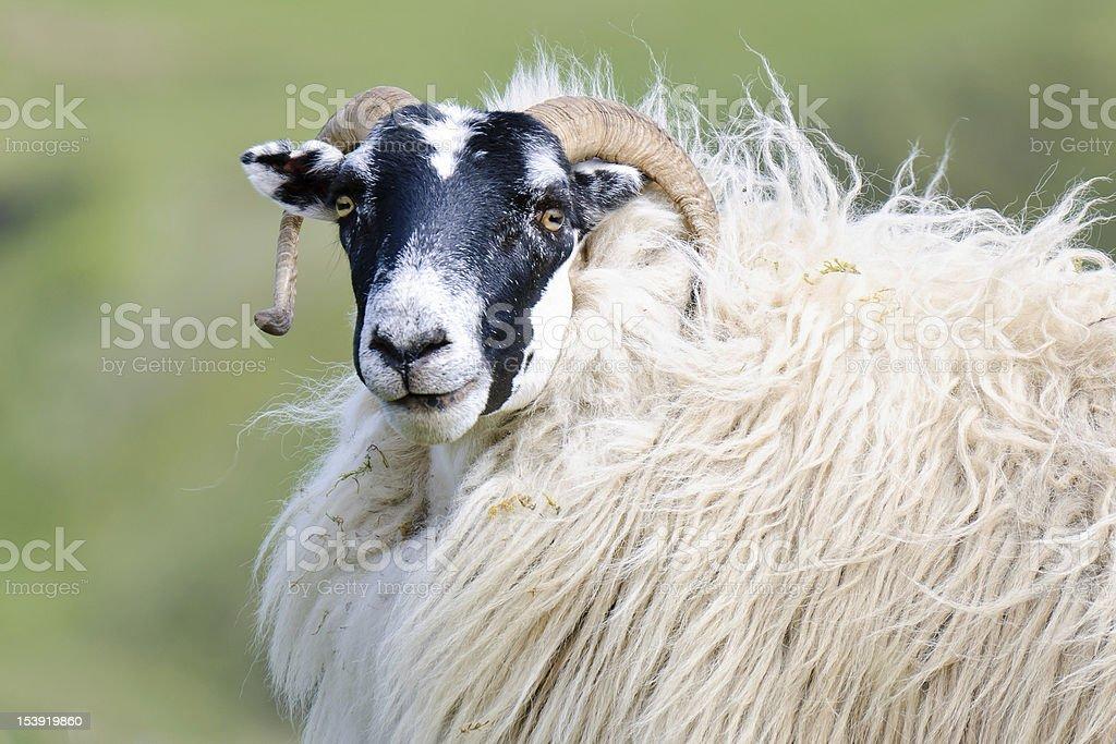 Portrait of a Scottish blackface sheep, Scotland stock photo