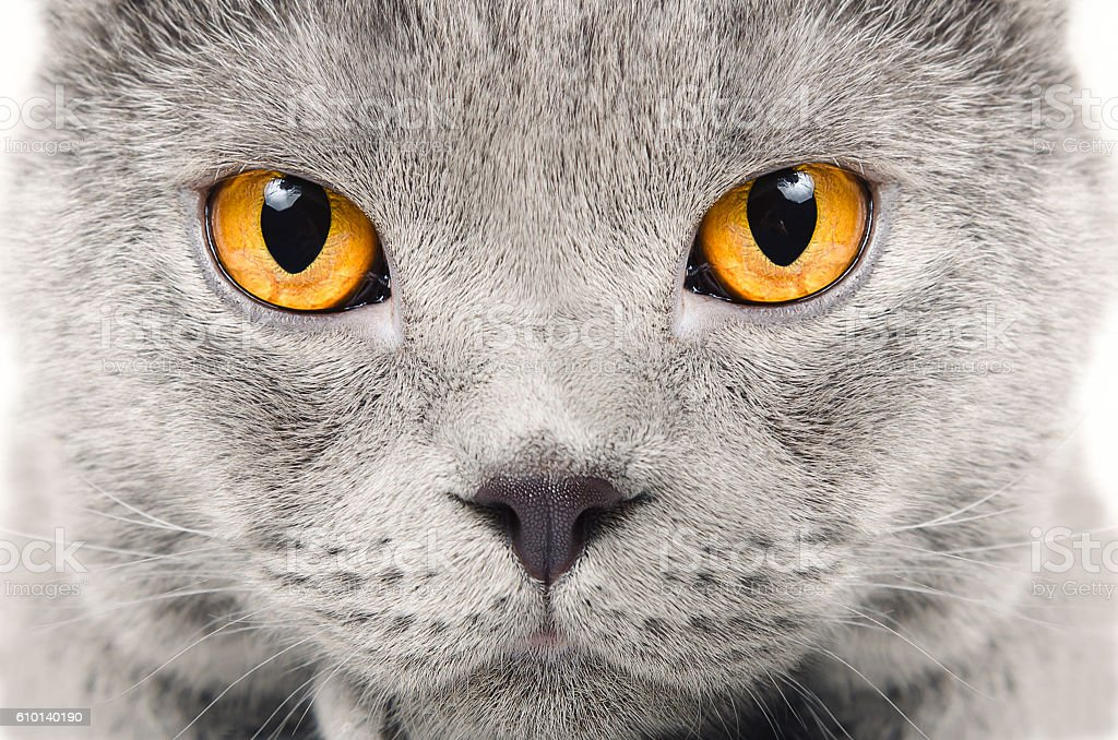 Portrait of a Scottish blue cat closeup stock photo