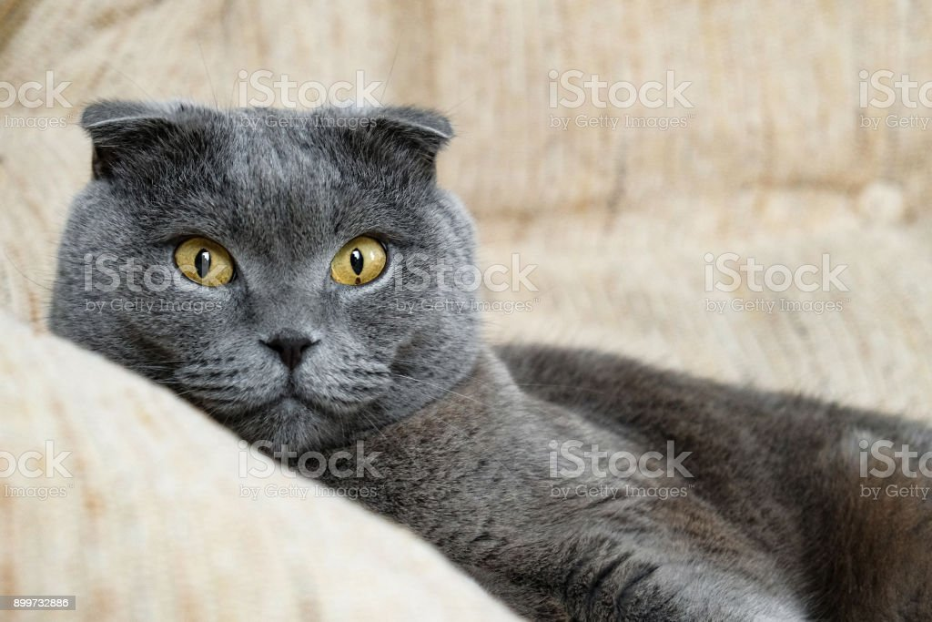 portrait of a Scottish fold cat stock photo