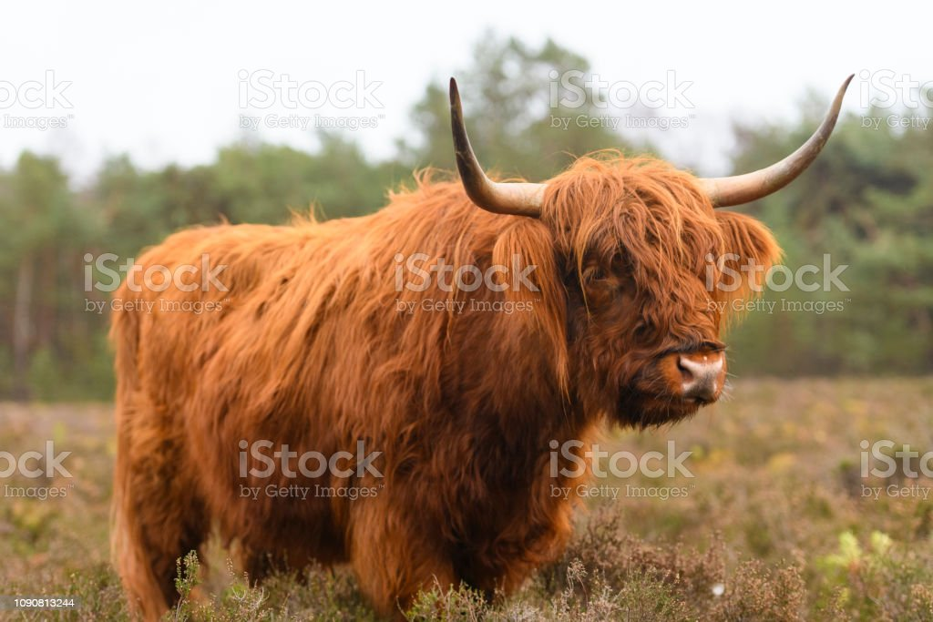 Portrait Of A Scottish Highland Cattle In A Nature Reserve Stock Photo Download Image Now