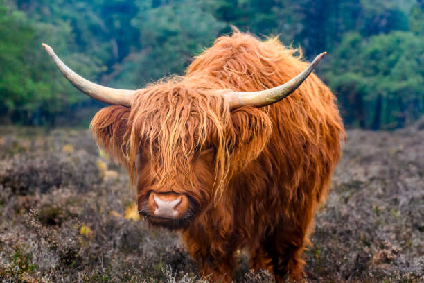 Portrait of a Scottish Highland cattle in a nature reserve stock photo