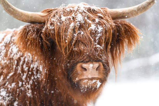 Portrait of a Scottish Highland cow in the snow stock photo