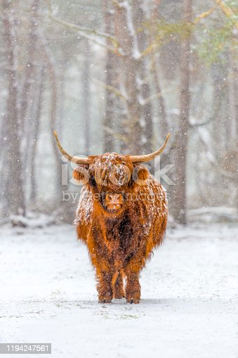 Portrait of a Scottish Highland cow cattle in the snow during winter. The Scottish Highlanders are used in the nature conservation of the Veluwe to ensure that heather areas do not grow densely.