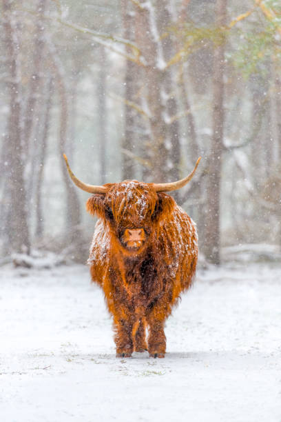 Portrait of a Scottish Highland cow in the snow
