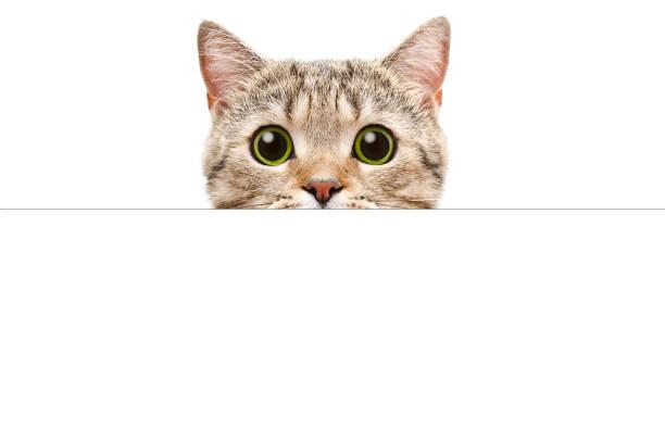 porträt einer scottish straight katze spähen hinter ein banner - peeping tom stock-fotos und bilder