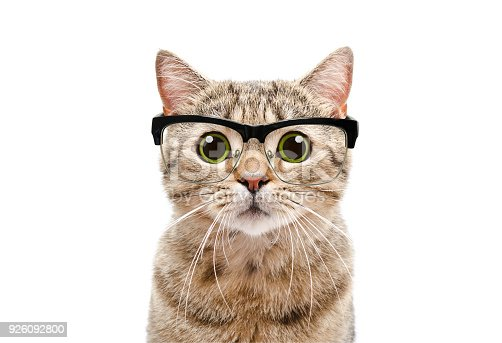 Portrait of a Scottish Straight cat with glasses Isolated on white background