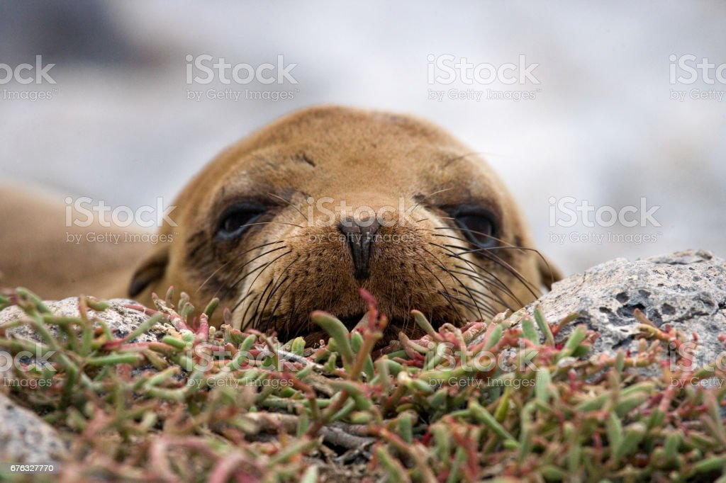 Portrait of a sea lion. royalty-free stock photo