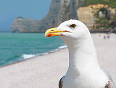 Portrait of a seagull on the background of the cliffs of Etretat. Famous coastline in Normandy, France