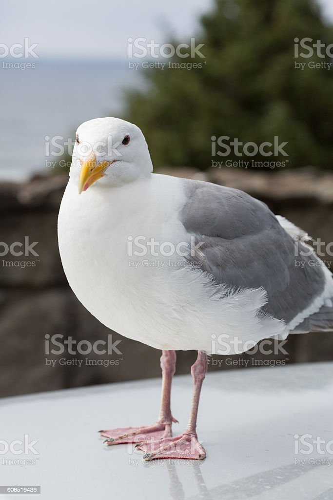 Portrait of a Seagull stock photo