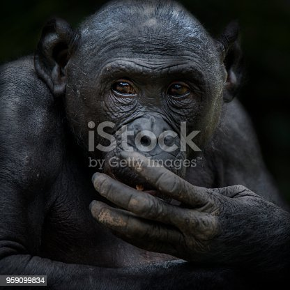 Close up shot of a senior Bonobo (Pan paniscus, Pygmy Chimpanzee) in DR Congo. This is a rare wildlife shot, the Bonobos are critically endangered