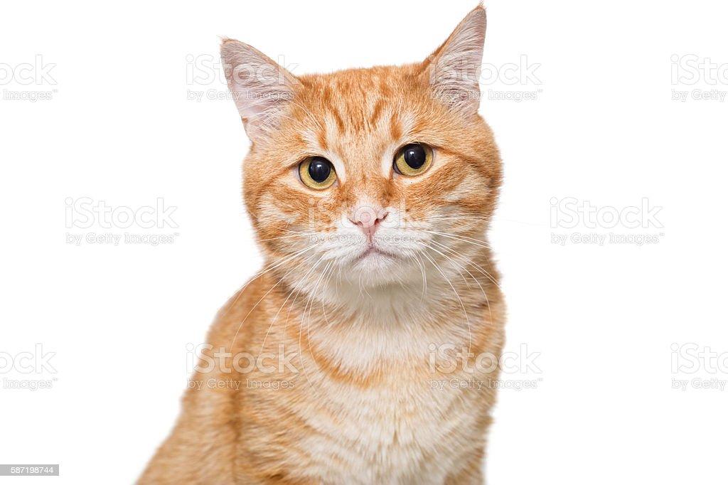 Portrait of a serious orange cat stock photo