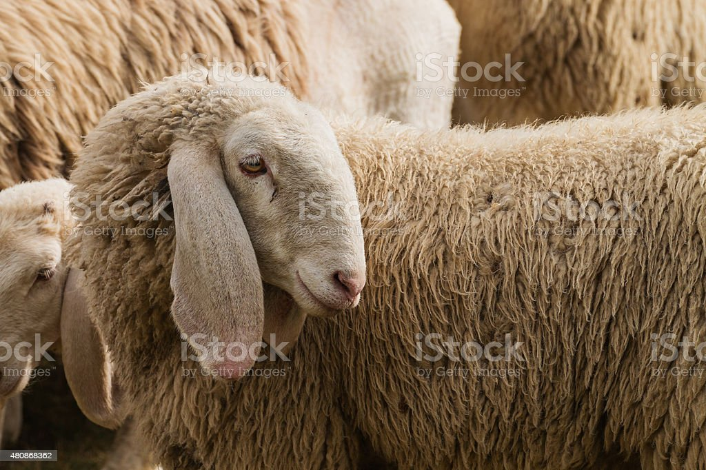 Portrait of a sheep with long ears stock photo