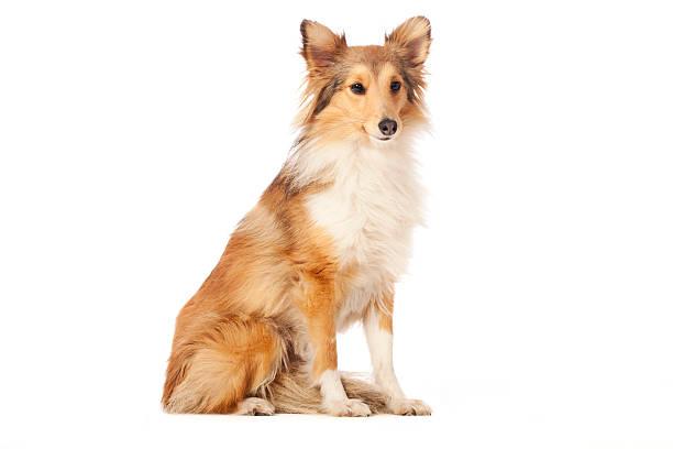 Portrait of a shetland sheepdog picture id471390281?b=1&k=6&m=471390281&s=612x612&w=0&h=a8j68w7wim03ljvjlz dtfttbpkvxlrirptk49 9fjw=