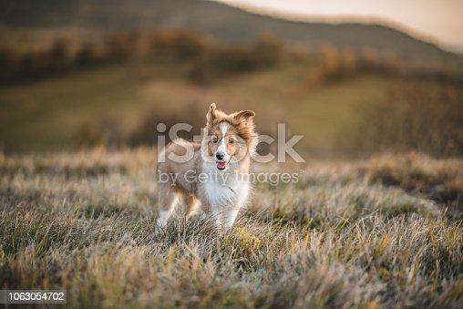 Portrait of a Shetland Sheepdog Puppy