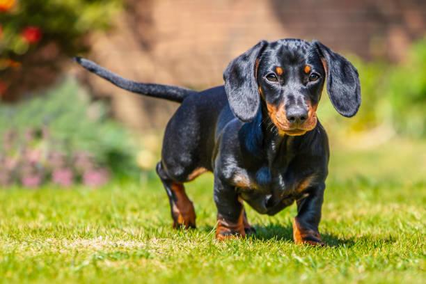 porträtt av en korthårig svart och solbränna miniatyr dachshund valp stående titta på kameran på gräs sett i ögonhöjd med öronen framåt ute på en solig dag. - tax bildbanksfoton och bilder