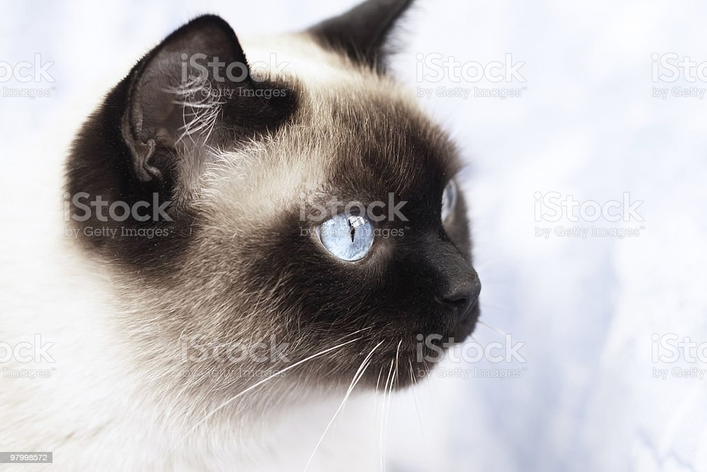 Portrait of a Siamese cat royalty-free stock photo