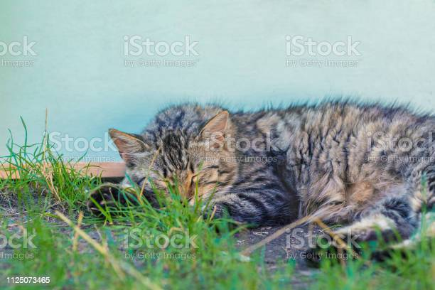 Portrait of a siberian cat lying near the wooden wall picture id1125073465?b=1&k=6&m=1125073465&s=612x612&h=7hxg56nmlypgrvgeitvmtt9nr 8yovplfoiswjqnoc4=
