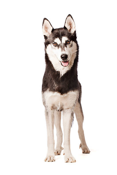 Portrait of a Siberian Husky A dog of the type: Siberian Husky husky dog stock pictures, royalty-free photos & images