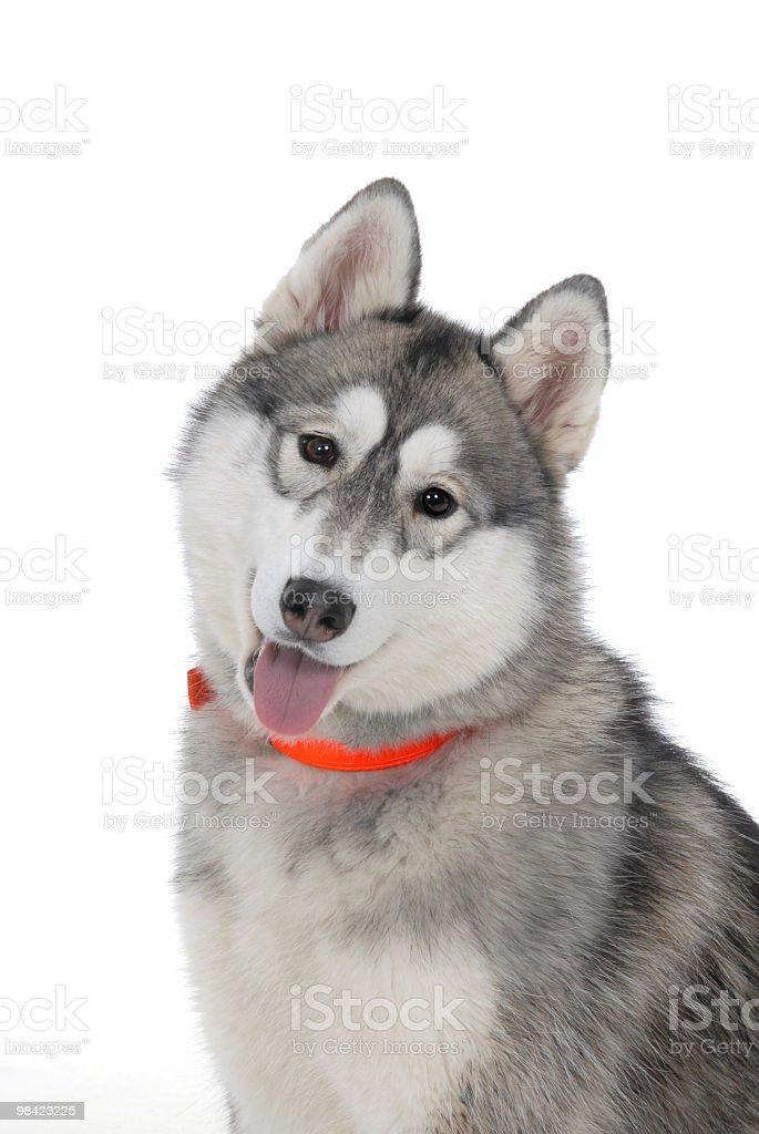 Portrait of a Siberian Husky royalty-free stock photo
