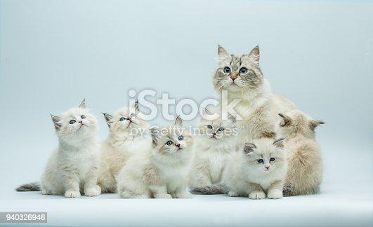 Portrait of a Siberian kitten family, 1-2 month born kittens on a gray bbackground