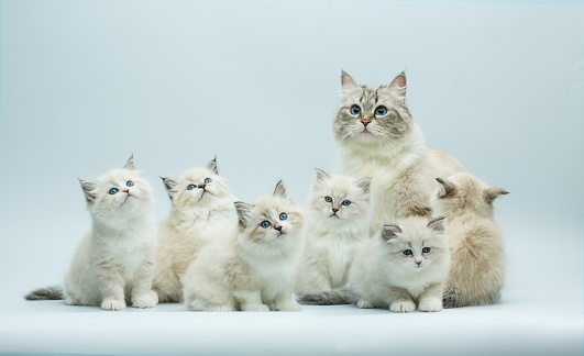 istock Portrait of a Siberian kitten family, studio shoot 940326946