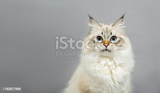 Portrait of a Siberian kitten on a grey background