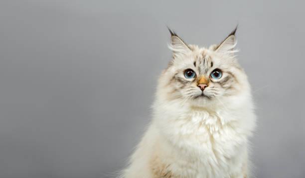 Portrait of a siberian kitten picture id1160827959?b=1&k=6&m=1160827959&s=612x612&w=0&h=lltanpwqmhxxhvhnlbcqjxepddcuu1861sffvownwps=