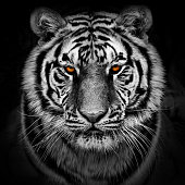 Black and white closeup of a Siberian tiger