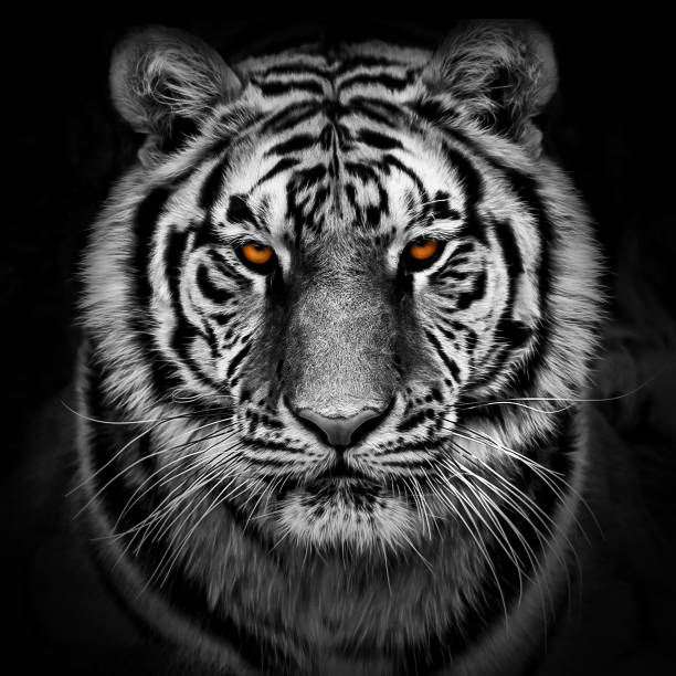 portrait of a siberian tiger - big cat stock pictures, royalty-free photos & images