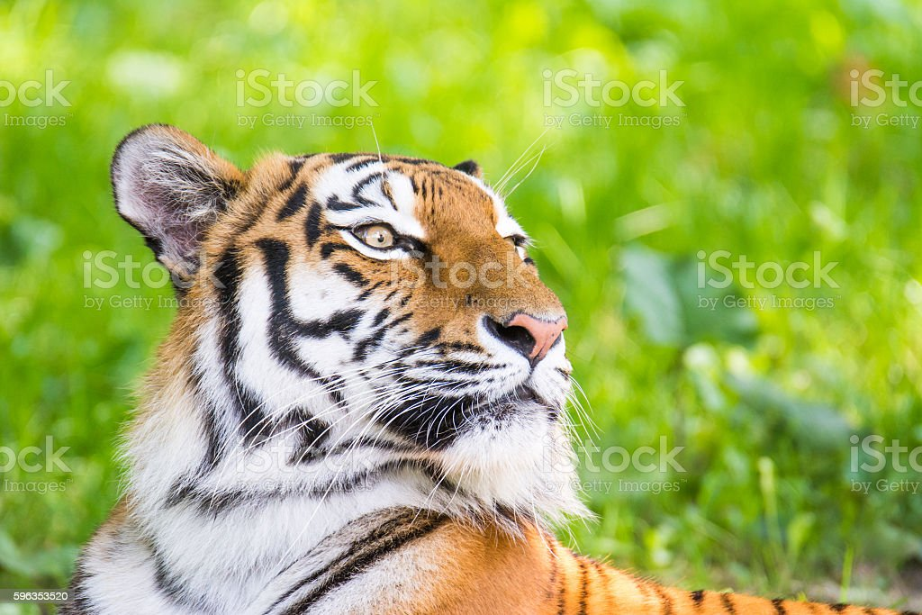 Portrait of a siberian tiger royalty-free stock photo