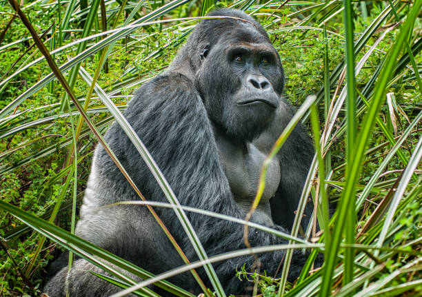 Portrait of a Silverback Eastern Lowland Gorilla, wildlife shot, Congo stock photo