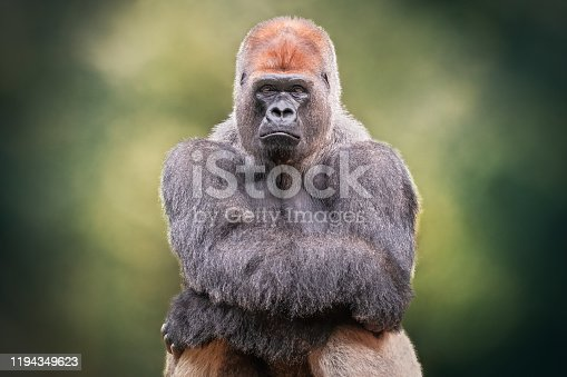 Portrait of a Silverback Gorilla crossing hands. African wild animal. It is a primate similar to the monkey