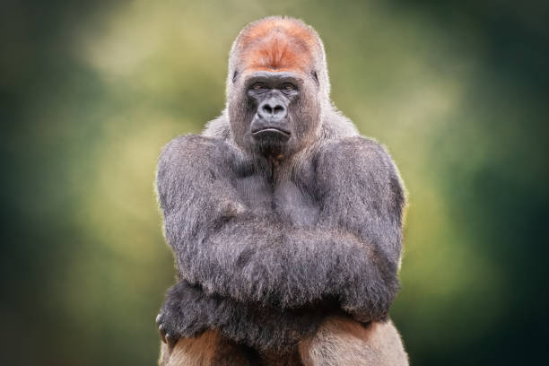 Portrait of a Silverback Gorilla crossing hands. African wild anima Portrait of a Silverback Gorilla crossing hands. African wild animal. It is a primate similar to the monkey gorilla stock pictures, royalty-free photos & images