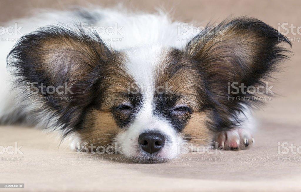 Portrait of a sleeping puppy Papillon Portrait of a cute sleeping puppy Papillon on a light brown background Animal Stock Photo