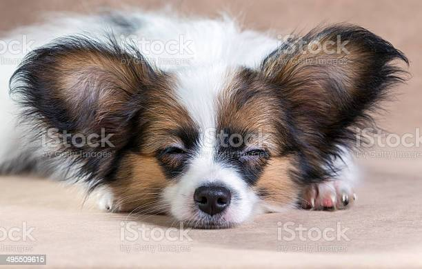Portrait Of A Sleeping Puppy Papillon Stock Photo - Download Image Now