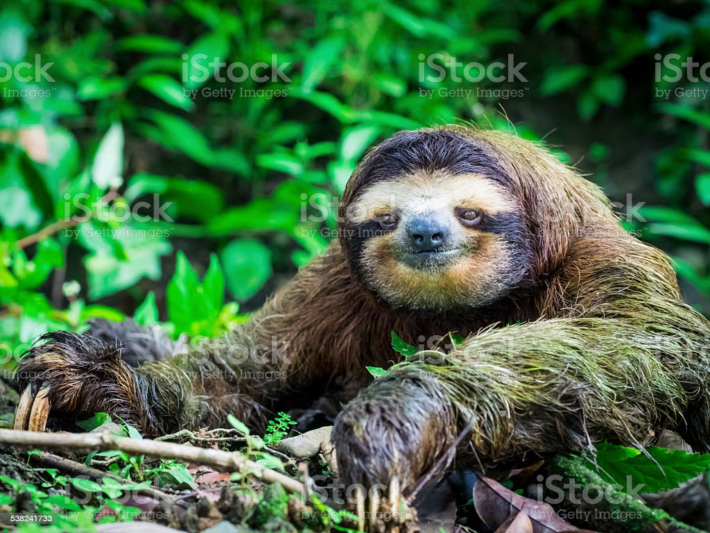 Portrait of a Sloth stock photo