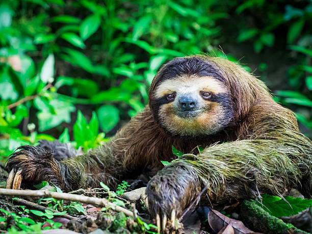 portrait of a sloth - sloth stock pictures, royalty-free photos & images