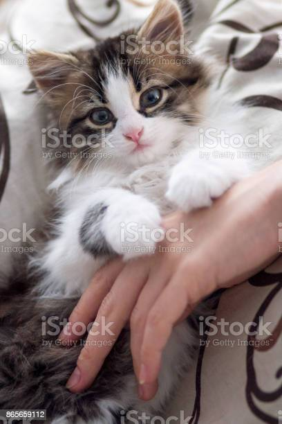 Portrait of a small cute kitten lying on a bed with a womans hand picture id865659112?b=1&k=6&m=865659112&s=612x612&h=54dcpvau mptwsf2rc7gmagh9mt oxk5kscmfirurv0=
