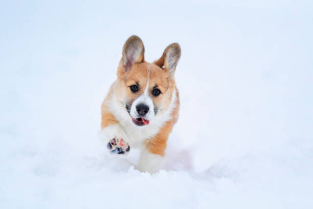 Portrait of a small funny redhaired puppy corgi walking in deep white picture id1095583212?b=1&k=6&m=1095583212&s=612x612&w=0&h=d0celiqyv1pj5kfrpauxoclxjpkue5tgv 70i1uoe4i=