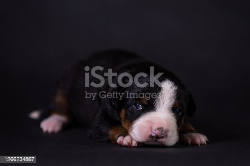 little funny puppy entlebucher mountain dog lies on a dark blue background in the studio and looks at the viewer