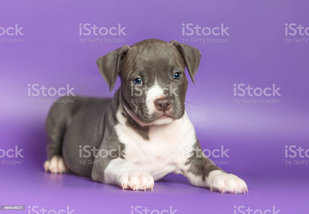 Portrait of a small puppy Staffordshire Terrier stock photo