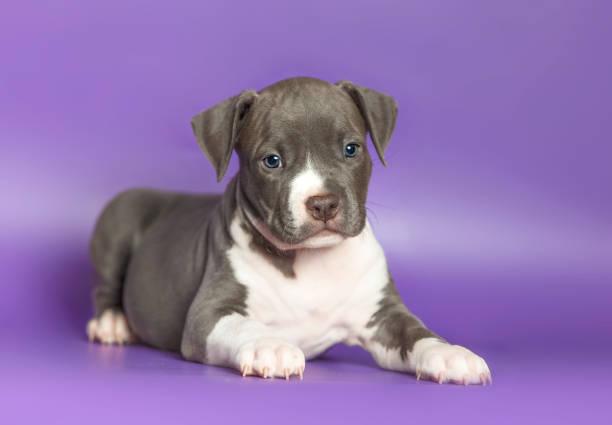 porträt eines kleinen welpen staffordshire terrier - pitbull welpen stock-fotos und bilder
