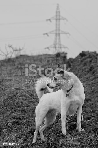 Portrait of a small white dog listening carefully on a field